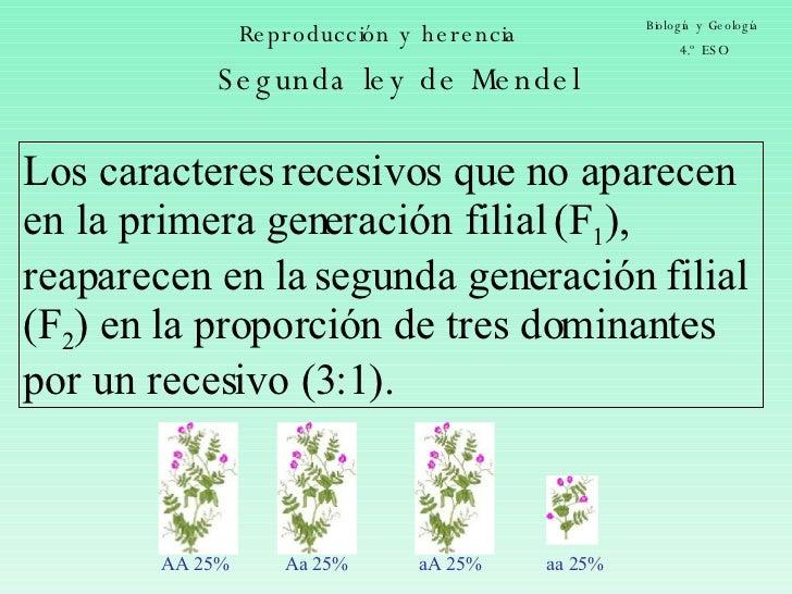 Reproducción y herencia Biología y Geología 4.º ESO Los caracteres recesivos que no aparecen en la primera generación fili...