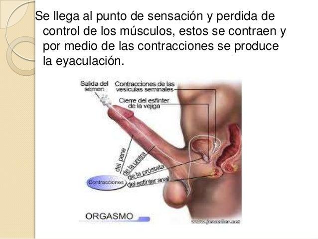 como se produce una ereccion