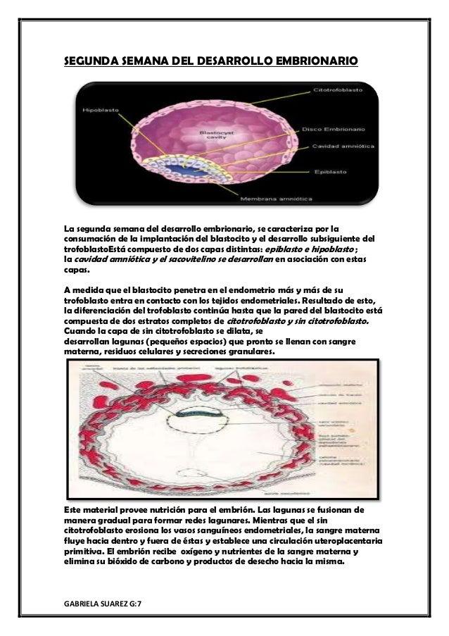 GABRIELA SUAREZ G:7 SEGUNDA SEMANA DEL DESARROLLO EMBRIONARIO La segunda semana del desarrollo embrionario, se caracteriza...