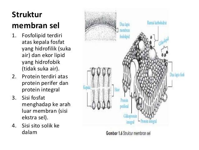 Sel struktur membran sel ccuart Choice Image
