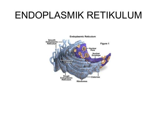Sintesa Lipid di ER