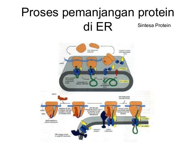 Hidroksilasi di ER CH2 NH2 -CH2 CH2 O O- + NADPH +O2 OH CH2 NH2 -CH2 CH2 O O- + NADP+ + H2O Fenil Alanin Tirosin