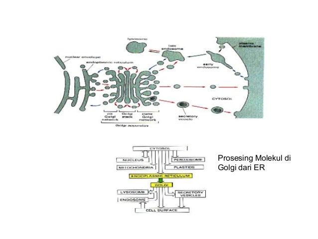 PENGANGKUTAN LEWAT MEMBRAN SEL ER Golgi TGNcis trans VESIKEL SEKRETORIS SEKRESI KONSEKUTIF endocytosis EKSOSI TOSIS ENDOSO...