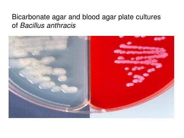 Bicarbonate agar and blood agar plate culturesof Bacillus anthracis