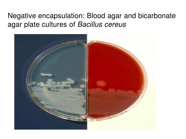 Negative encapsulation: Blood agar and bicarbonateagar plate cultures of Bacillus cereus