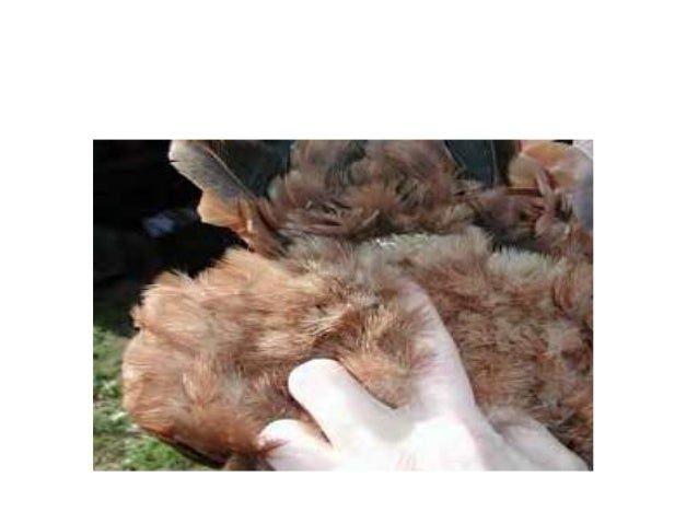 3. Abdomen • A soft pliable abdomen is a good sign of a healthy hen. • Sometimes a hen will be found that has very good sp...