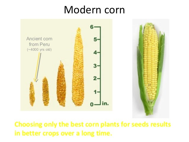 genetically modified plants and selective breeding biology essay Start studying genetic modification and evolution- biology what is the method for selective breeding what are the advantages or genetically modified plants.