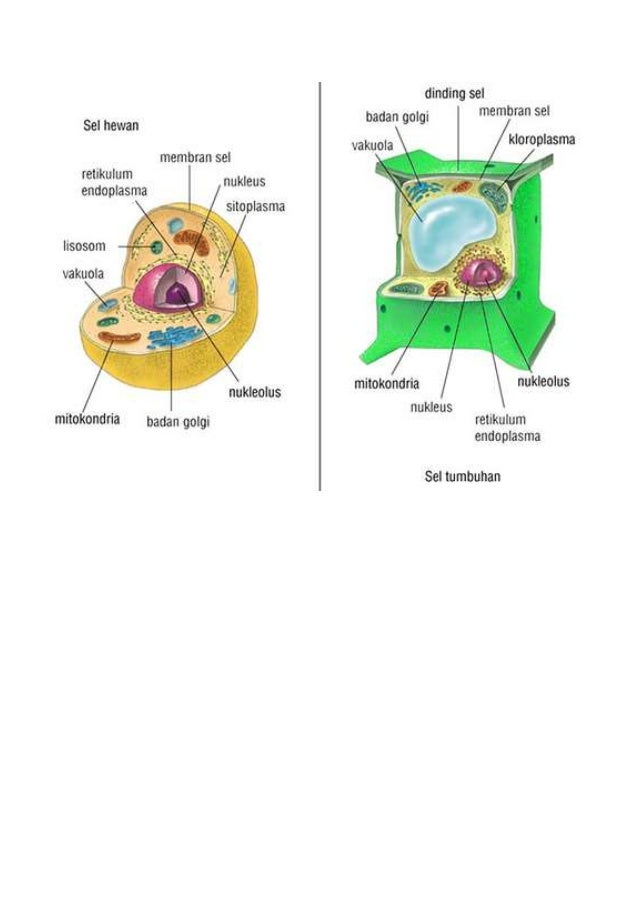 Sel hewan dan tumbuhan dinding sel membran sel kloroplasma se hewan badan goigi membran sel retikulum nukleus ccuart Choice Image