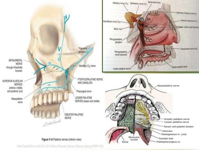 Anatomy of Trigeminal Nerve and Facial nerve