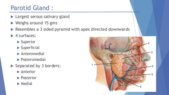 Salivary glands – anatomy and physiology