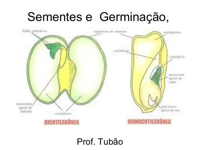 Sementes e Germinação,       Prof. Tubão