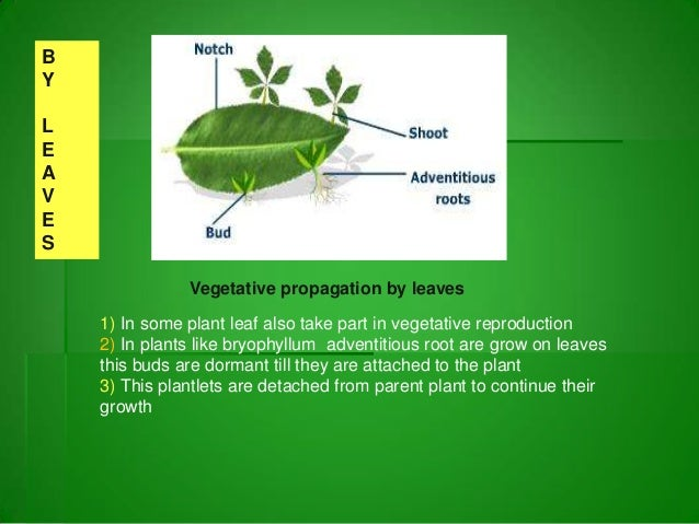 Plantlets asexual propagation methods