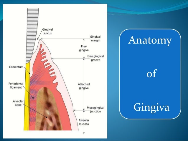 Gingiva Macroscopic Features