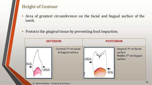 Dr. Nithin Mathew – Contacts & Contours Height of Contour 15 • Area of greatest circumference on the facial and lingual su...