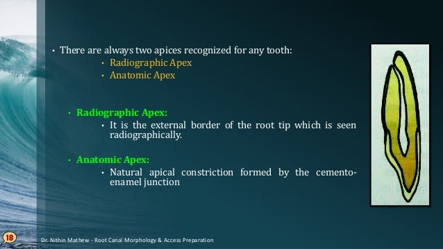 Course of Root Canals 19 Curved root canals with apical foramen distant from the apex Curved root canals with apical foram...