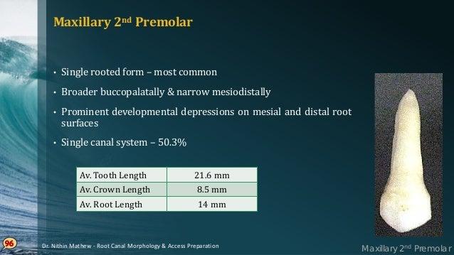 97 PULP CHAMBER • Narrow mesiodistally • Wider buccopalatally than Maxillary 1st premolar • Pulp horn under each cusp, buc...