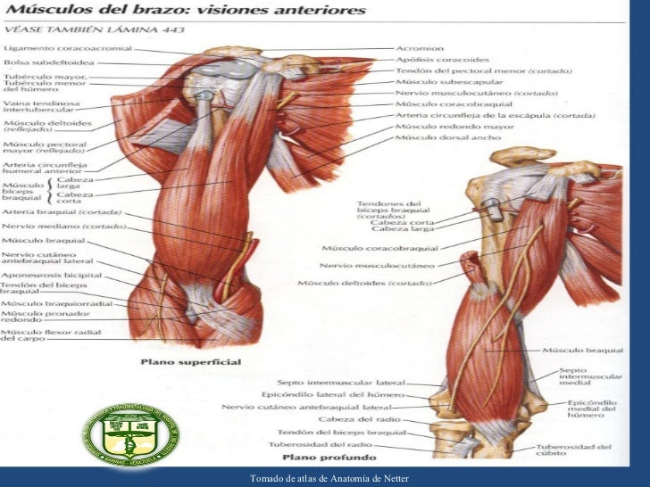 Seminario anatomia antebrazo 2012. Servicio de Ortopedia y Traumatol…