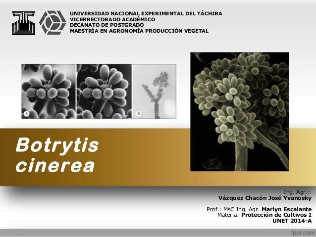 Botrytis cinerea Ing. Agr.: Vázquez Chacón José Yvanosky Prof.: MsC Ing. Agr. Marlyn Escalante Materia: Protección de Cult...