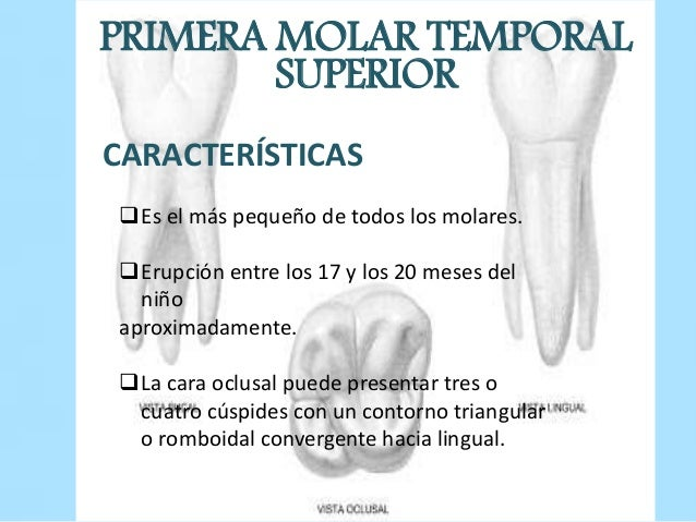 morfología externa de molares temporales
