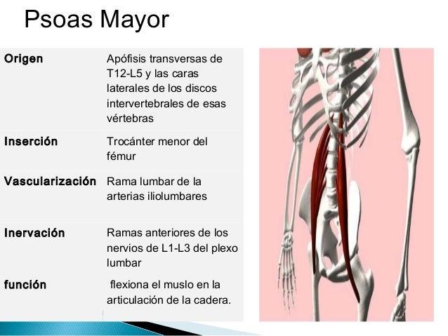 Musculos, arteria y nervio del muslo (Femur)