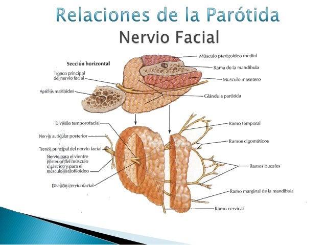 Anatomia de la glandula parotida jonathan molina