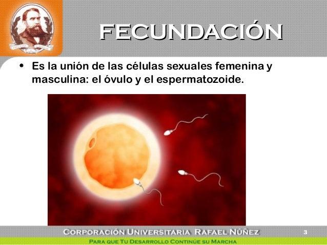El óvulo fecundado se divide por primera vez a las 24h de la concepción. Es lo que llamamos zigoto. PRIMERA SEMANA