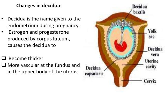 Understanding the Uterus