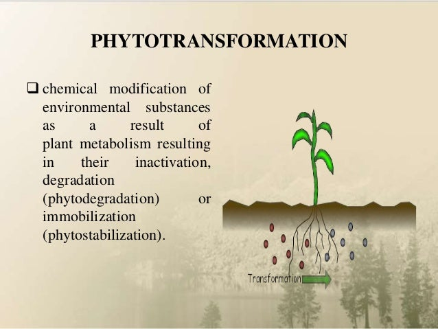 phytoextraction or phytoremediation essay Phytoremediation uses one basic concept: the plant takes the pollutant through  the roots the pollutant can be stored in the plant (phytoextraction), volatized by.