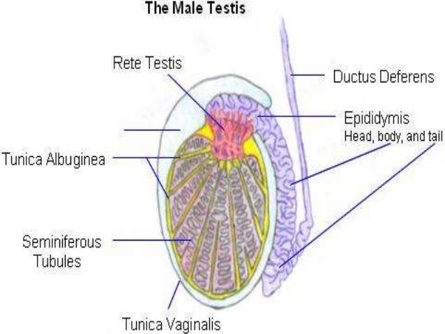 Seminiferous Tubules