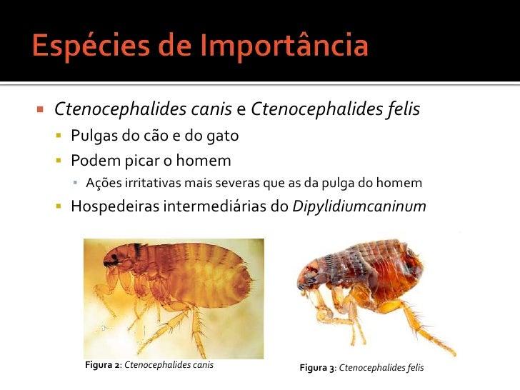 Espécies de Importância<br />Ctenocephalides canis e Ctenocephalides felis<br />Pulgas do cão e do gato<br />Podem picar o...