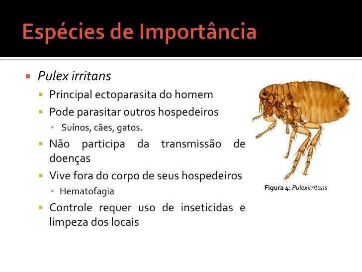Espécies de Importância<br />Pulex irritans<br />Principal ectoparasita do homem<br />Pode parasitar outros hospedeiros<br...