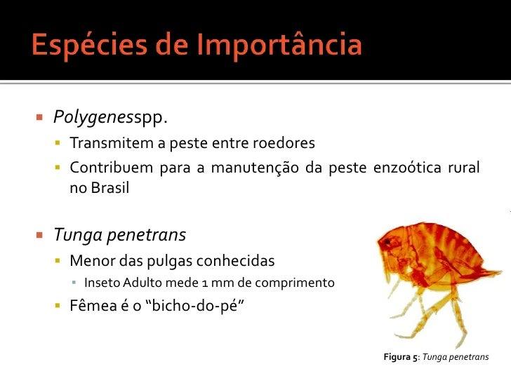 Espécies de Importância<br />Polygenesspp.<br />Transmitem a peste entre roedores<br />Contribuem para a manutenção da pes...