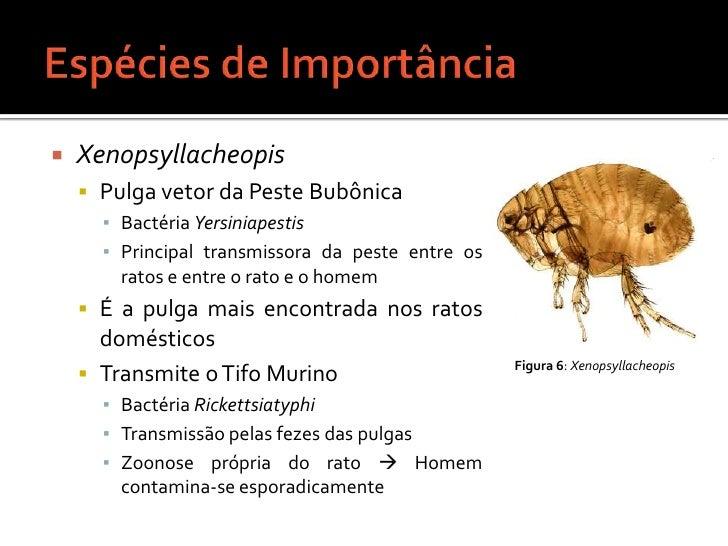 Espécies de Importância<br />Xenopsyllacheopis<br />Pulga vetor da Peste Bubônica<br />Bactéria Yersiniapestis<br />Princi...