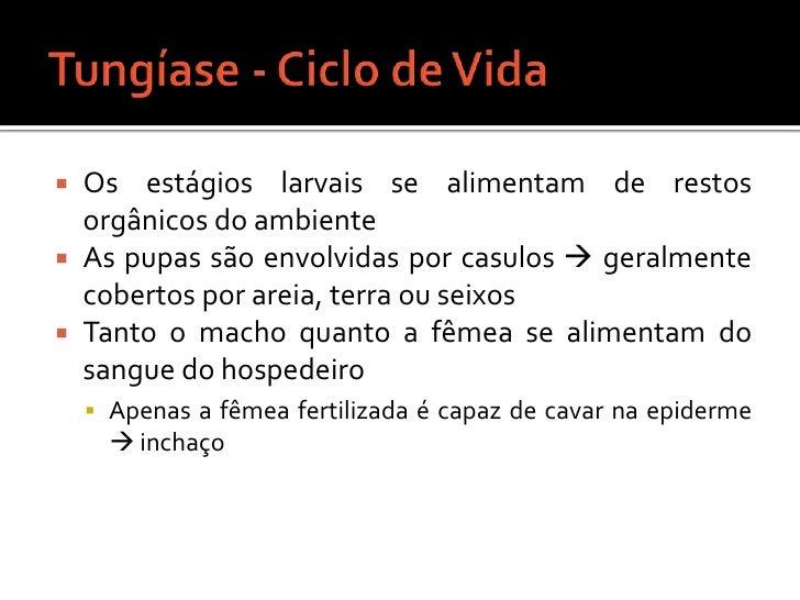 Tungíase - Ciclo de Vida<br />Os estágios larvais se alimentam de restos orgânicos do ambiente<br />As pupas são envolvida...