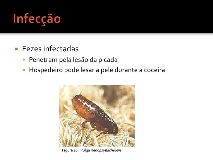 Pulgas e Tifo Murino<br />Tifo Endêmico ou Tifo Transmitido por Pulgas <br />Agente etiológico bacteriano: Rickettsia typh...