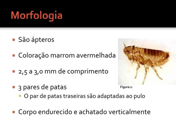 Morfologia <br />São ápteros<br />Coloração marrom avermelhada<br />2,5 a 3,0 mm de comprimento<br />3 pares de patas<br /...