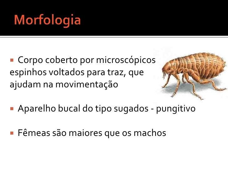 Morfologia <br />Corpo coberto por microscópicos <br />espinhos voltados para traz, que <br />ajudam na movimentação <br /...