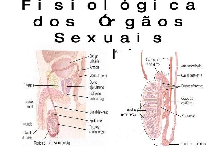 Anatomia Fisiológica dos Órgãos Sexuais Masculinos