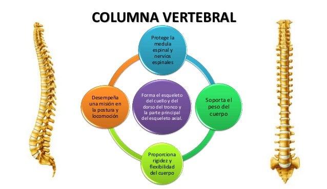 LA JARILLA 6ºC: LA CAJA TORÁCICA, LA COLUMNA VERTEBRAL Y