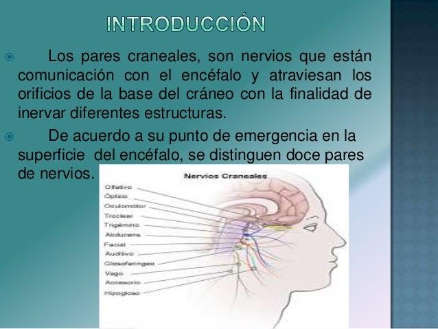  Los pares craneales, son nervios que están comunicación con el encéfalo y atraviesan los orificios de la base del cráneo...