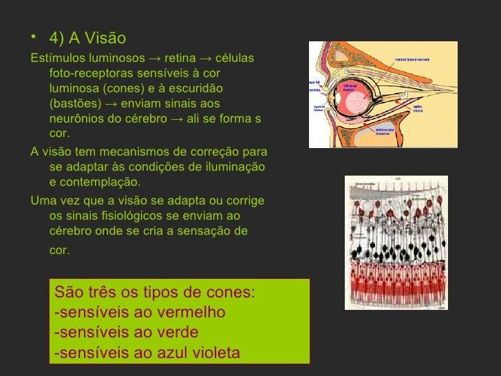 <ul><li>4) A Visão  </li></ul><ul><li>Estímulos luminosos  ->  retina  ->  células foto-receptoras sensíveis à cor luminos...