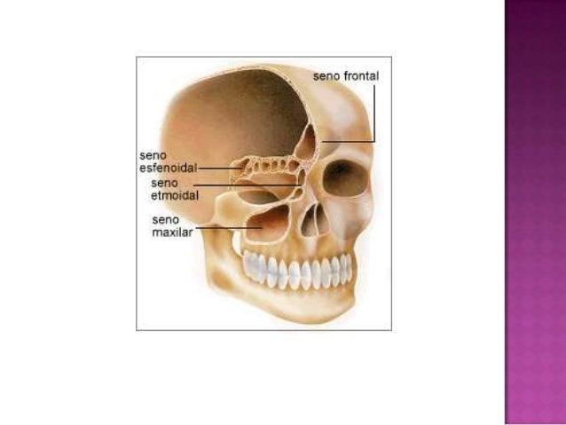 Senos esfenoidales anatomia