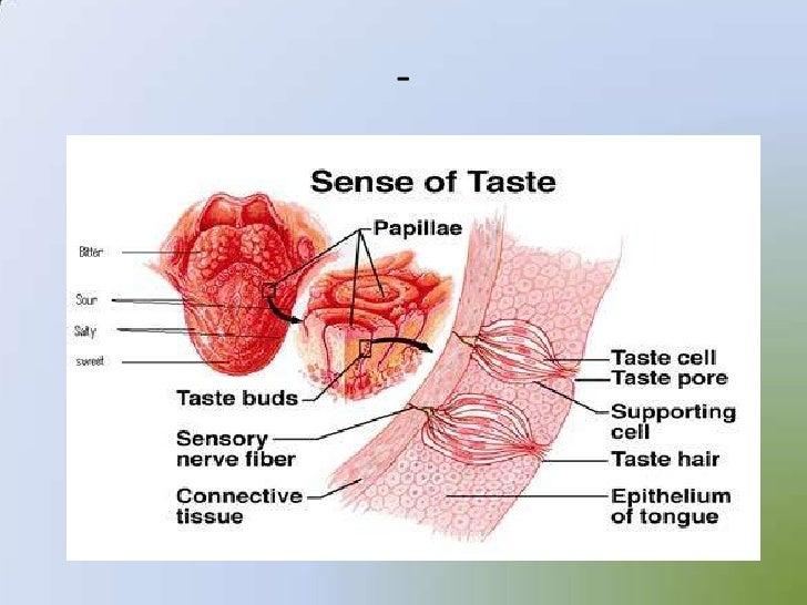 Sense Organs 12875004 as well Sense Organs 12875004 moreover Sense Organs 12875004 moreover Sense Organs 12875004 together with Sense Organs 12875004. on sense organs 12875004