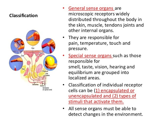 Sense organs anatomy and physiology 4 general sense organs areclassification microscopic receptors widely distributed ccuart Image collections