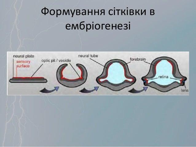 Формування сітківки в ембріогенезі