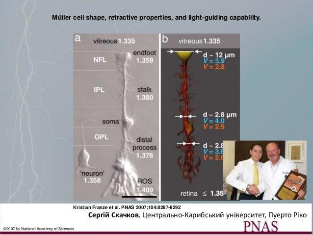Müller cell shape, refractive properties, and light-guiding capability. Kristian Franze et al. PNAS 2007;104:8287-8292 ©20...