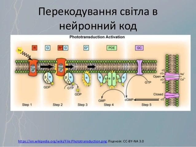 Перекодування світла в нейронний код https://en.wikipedia.org/wiki/File:Phototransduction.png Ліцензія: CC-BY-NA 3.0