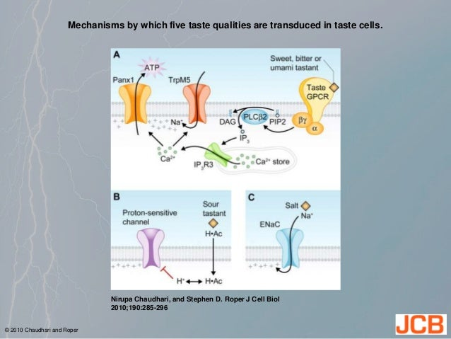 Mechanisms by which five taste qualities are transduced in taste cells. Nirupa Chaudhari, and Stephen D. Roper J Cell Biol...