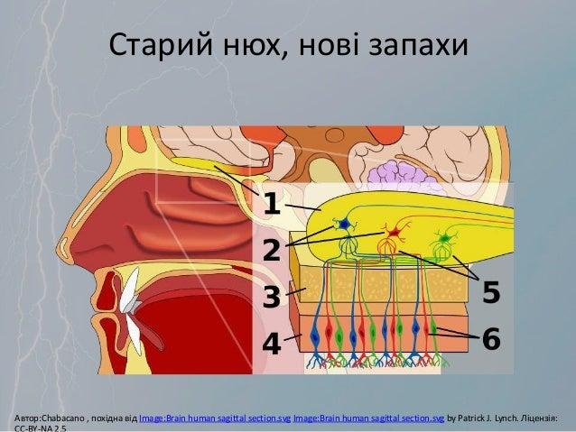 Старий нюх, нові запахи Автор:Chabacano , похідна від Image:Brain human sagittal section.svg Image:Brain human sagittal se...