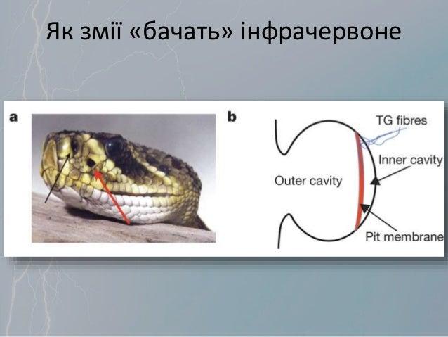 Як змії «бачать» інфрачервоне